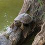 Europäische Sumpfschildkröte Foto K-H Kuhn