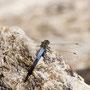 Blaupfeil-Libelle.  Foto K-H Kuhn