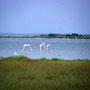 Flamingos Foto K-H Kuhn