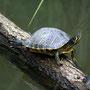 Gelbwangenschmuckschildkröte Foto K-H Kuhn