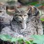 Wildkatze Foto K-H Kuhn