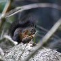Eichhörnchen Foto K-H Kuhn