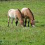 Przewalski Pferd Foto K-H Kuhn