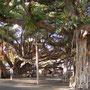 ラハイナ。有名な菩提樹です。