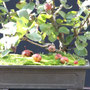 Apfel 3, kleine Äpfel