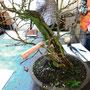 Sommer-Linde 5, radikales Einkürzen des Baumes