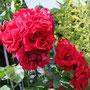 Rose mit 400 Tele aus der Hand