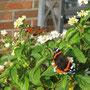Okt. 2012, Schmetterlinge, Bild: Brandt