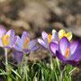 06.03.2013, Krokusse, Bild: Hengsten