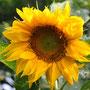 Juli 2012, Sonnenblume, Bild: Hengsten