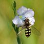 Syrphe sur une fleur de lin