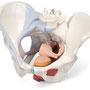 骨盤内臓器と骨格 位置関係 水色は靭帯