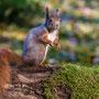 Eichhörnchen. Klaus-Dieter Haak