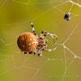 araignée en cours d'identification (cropé)