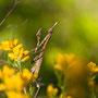 L'Empuse commune (Empusa pennata) ou diablotin ici femelle (le mâle ayant des antennes)