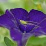 sauterelle verte sur pétunia violet (pas nette nette) mais en attendant de la refaire...