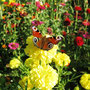 Бабочка павлиний глаз (автор - И.Кузнецова)