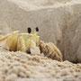 Siri na areia