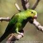 Maritaca-verde (Pionus maximiliani)