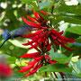 Kolibri (Beija-Flor) (Eupetomena macroura)