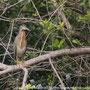 Socozinho (Butorides striatus)