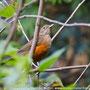 Sabiá-laranjeira (Turdus rufiventris)
