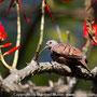 Rolinha-roxa (Columbina talpacoti)