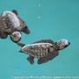 Riesenschildkröte (wenge Stunden alt und ca.4cm lang)