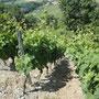 les vignes, plantées à flan de montagne
