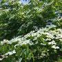 ヤマボウシが満開で花言葉は「友情」、自主研修にピッタリでしたね~