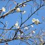 ウメの花が咲きだしています。
