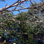 コブシの木