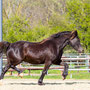 Bryncendl Alys, traditional mare linebred to Horeb Euros and Nebo Daniel, 5 years old. What a mover in the making. Ph.: St.Porschen on the first warm day in April.