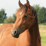 Beautiful Labhraoloinsigh Polly (Trevallion The McCoy x Trefaes Ballet Queen) as a 2 year old.
