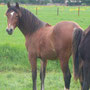 Labhraoloinsigh Polly as a yearling.