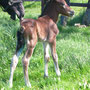 Labhraoloinsigh Church Lady 2 days old. Church Lady is by Abercippyn Bay Flyer, show winning stallion in Wales, and out of one of our older broodmares Cathedine Lady Delight (Parc Matador x Cathedine Welsh Lady).