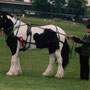 Driven Cob. Photo: BSPA (British Piebald and Skewbald Association) website.