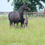 Trefaes Ballet Queen at 20 years of age alongside Labhraoloinsigh Flame, only 14 hours old.