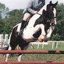 Hunting Cob. Photo: BSPA (British piebald and Skewbald Association) website.