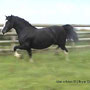 Gwynfaes Branwen, producer of excellent stock in Wales, England, France, Germany and Canada. She is dam to our stallion Bendigeidfran.