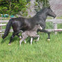 Merit Sall Ann alongside her Labhraoloinsigh foal 'Coming King'.