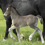 Bryncendl Alys as a foal, sired by multiple Supreme Champion, Bronze medal winner & Royal Welsh Reserve Male Champion Horeb Tomboy