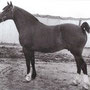 Parc Lady- arguably one of the most beautiful Cob mares ever.Winner of the Prince of Wales Cup 4 times! Our stallion Black's female line that produced champions, broodmares and sires of note. Ancestor of most of our cobs! Photo: Parc Stud website