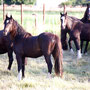Labhraoloinsigh Flame as a young yearling after having a serious operation which nearly cost her life...