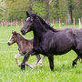 Horeb Mama Mia by Horeb Euros and her 2013 foal Labhraoloinsigh Horos. Mia goes back to the prolific mare Gerynant Rosina (Tydi/Synod). Female Line of the 1929 Royal Welsh Champion Myrtle Rosina.