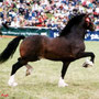 Prince of Wales Cup Winner and Sire Ratings winner for several years: Gwynfaes Culhwch. Sire of our stallion Gwynfaes Bendigeidfran