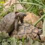 Testudo graeca ibera bei der Paarung