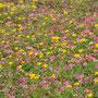 Coronilla orientalis