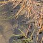 Kaulquappen der Erdkröte vor der Metamorphose