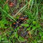der Regen hat dann die Salamander aus ihren Verstecken gelockt.